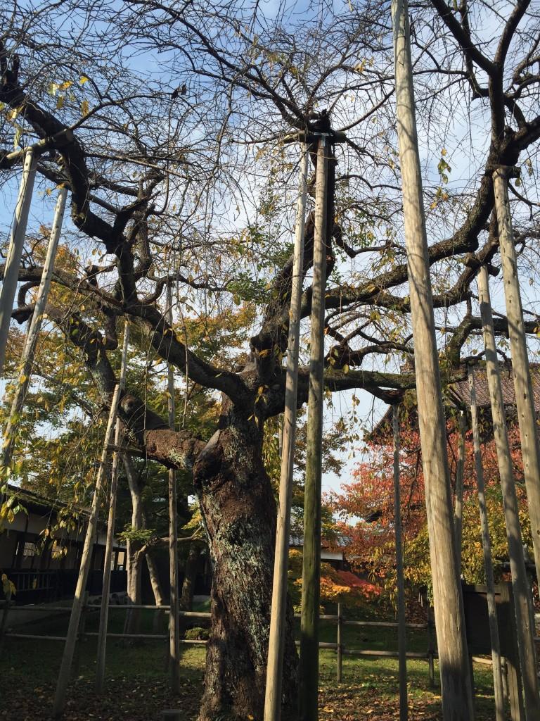 宝光寺にある樹齢約380年のしだれ桜。周りには添え木が立てられ枝を 支えている。支えられているからこそ、江戸時代からずっと美しい花を咲かせ、寺や地域の人々、そして私たちを見守り続けてきたのだろう。