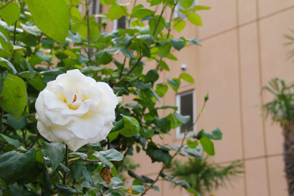 オレンジホール脇に咲く白いバラ