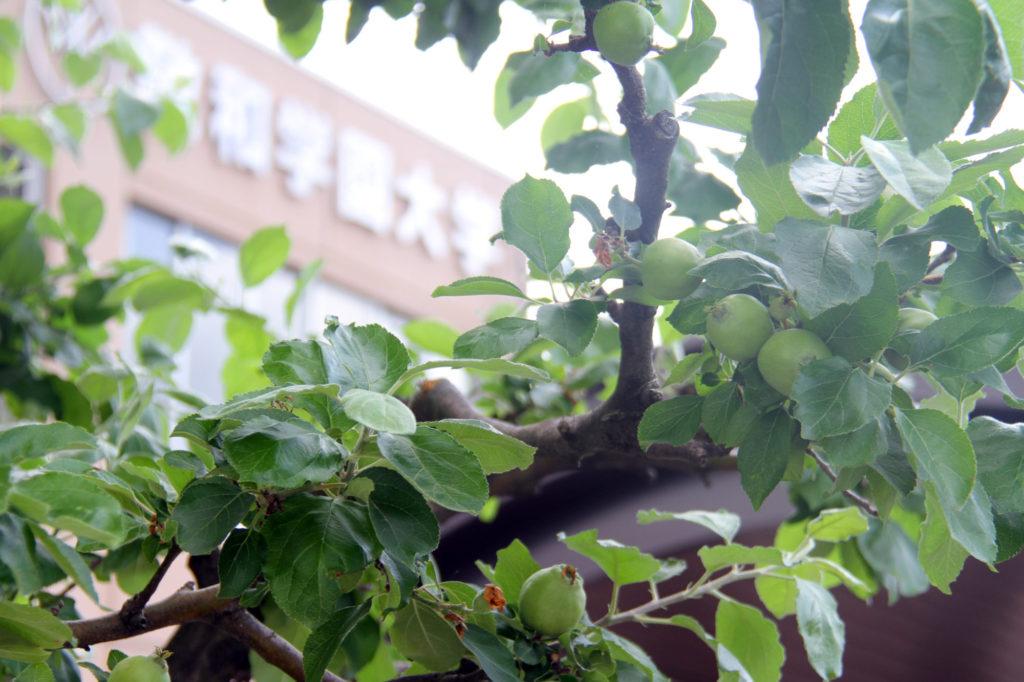 リンゴの木と桜の木