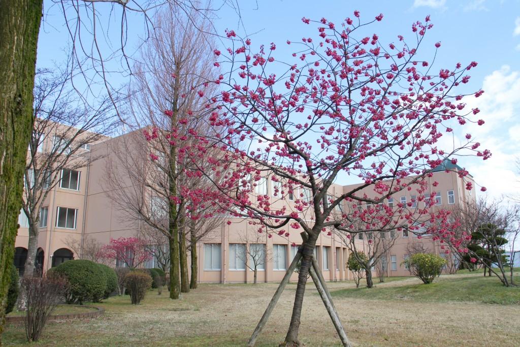 寒緋桜が満開になりました